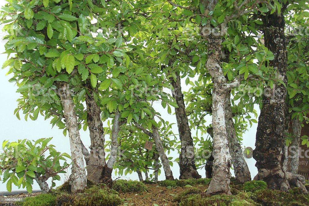 Miniature Birch Tree Forest Closeup stock photo