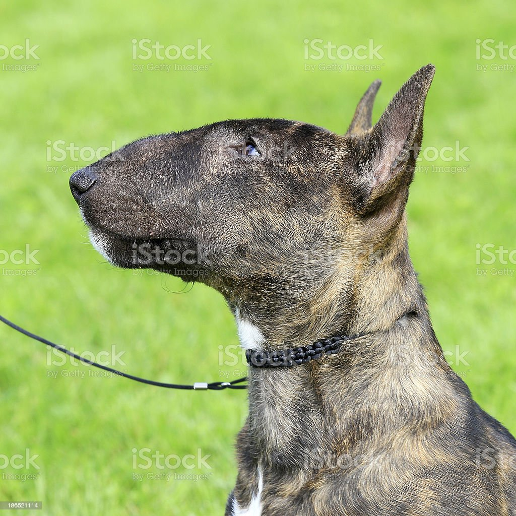 Miniature Bull Terrier royalty-free stock photo