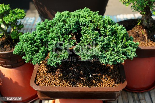 Miniature conifer trees on display at Chatuchak street market in Bangkok, Thailand