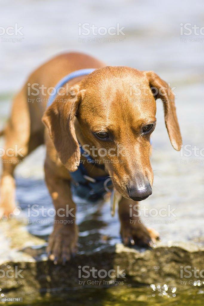 Miniature dachshund at water's edge royalty-free stock photo