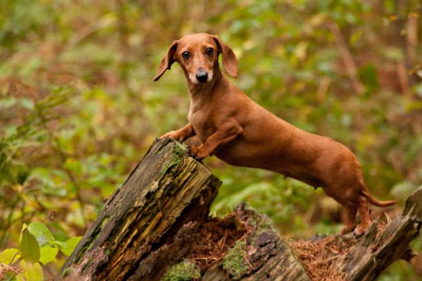 miniatyr tax hund - tax bildbanksfoton och bilder