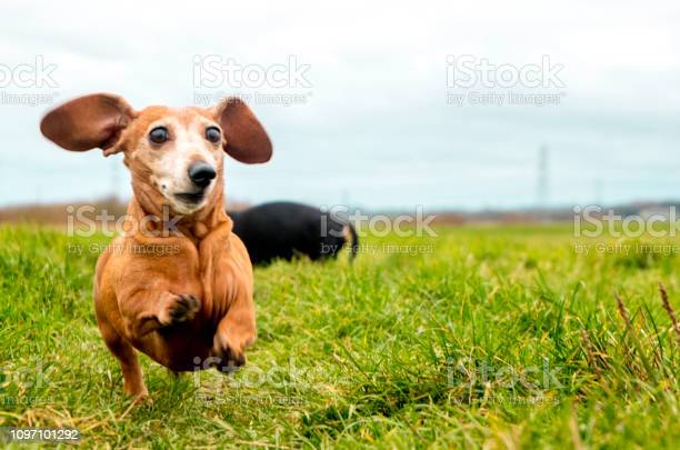 Miniature dachshund exercise picture id1097101292?b=1&k=6&m=1097101292&s=612x612&h=gb3zthrmv  ijpfiomhtojqjel20japnvq96xjmvhhc=
