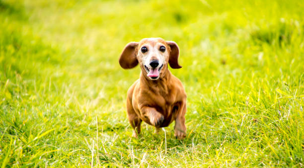 Miniature dachshund exercise picture id1173681319?b=1&k=6&m=1173681319&s=612x612&w=0&h=jo5yp2wa1uznewk4dn18qzvnmiko2m9m1uhhcyue4uq=
