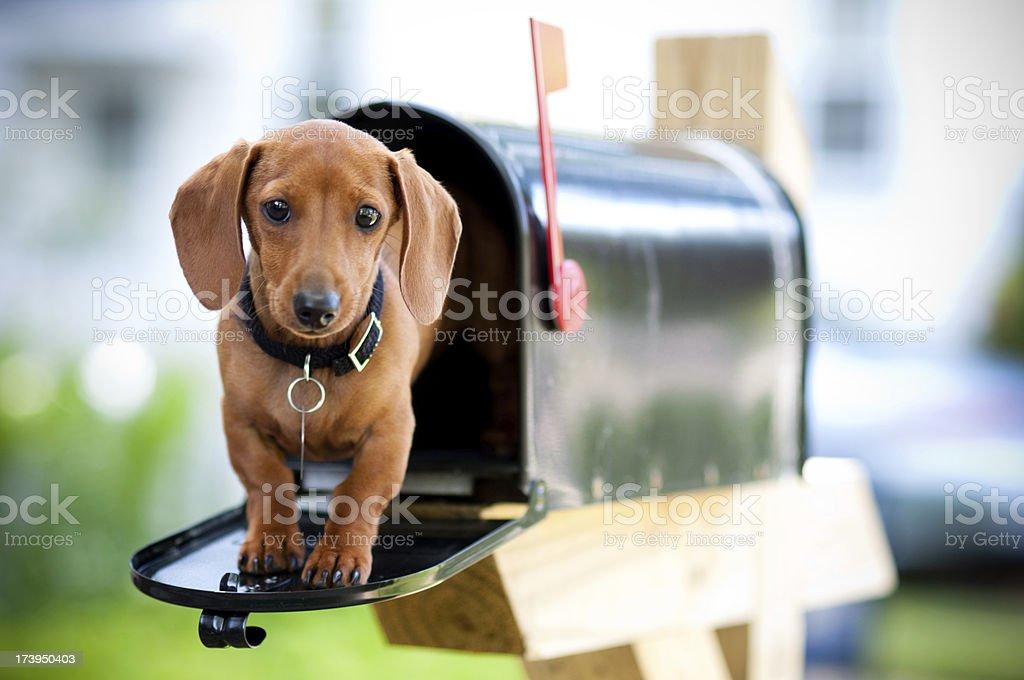 Miniature Dachshund in a Mail Box Color photo of a Miniature Dachshund in a Mail Box. Animal Stock Photo