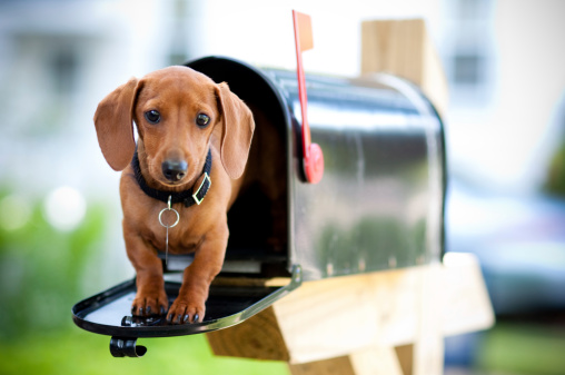 Miniature Dachshund In A Mail Box Stock Photo - Download Image Now