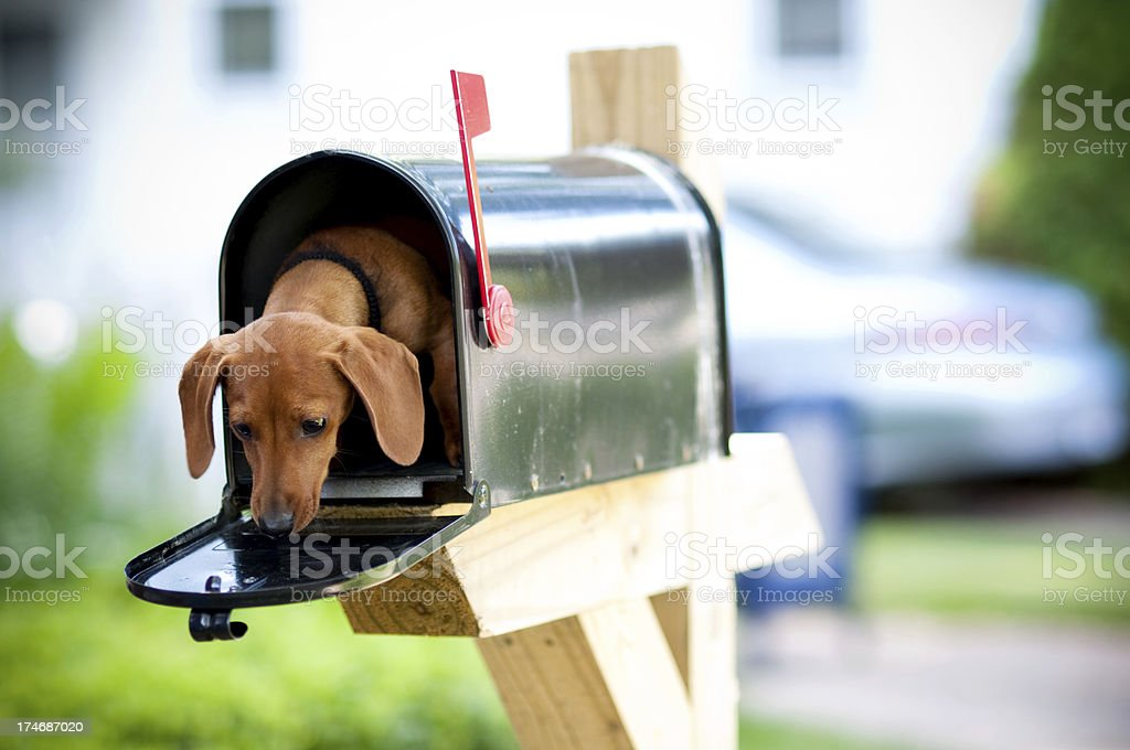Miniature Dachshund in a Mail Box royalty-free stock photo