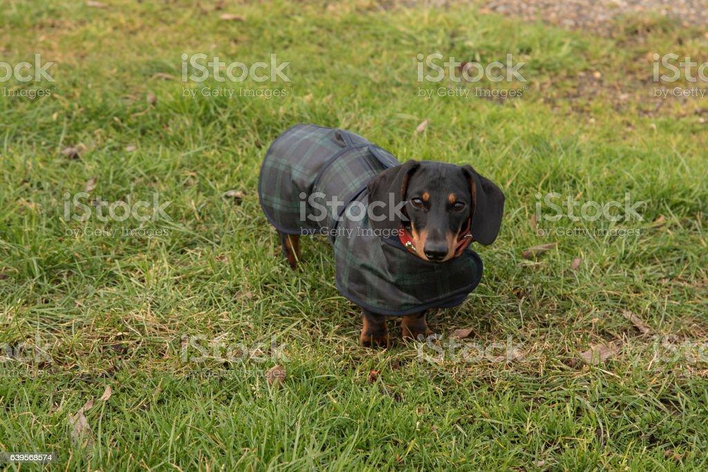 Miniature Dachshund in waxed coat facing camera stock photo