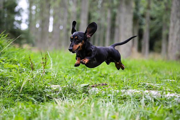 miniature dachshund jumping over a log. - tax bildbanksfoton och bilder
