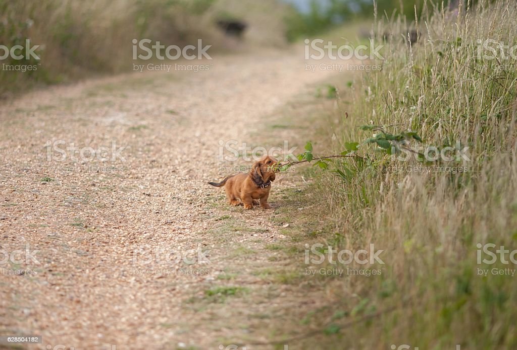 Miniature Dachshund long-haired puppy stock photo