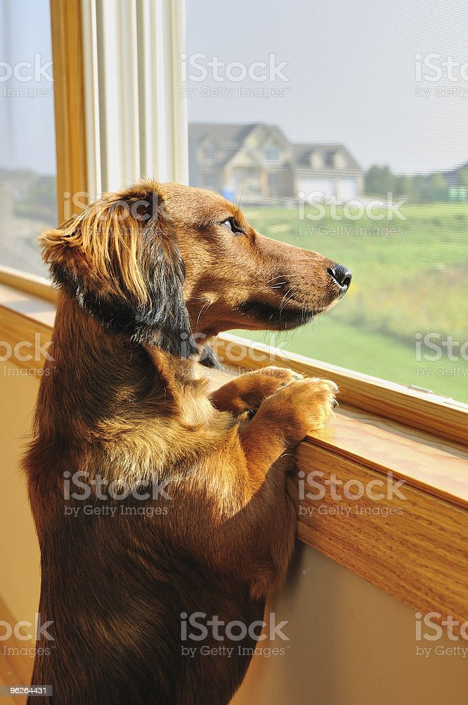 Miniature Dachshund Looking out a Window royalty-free stock photo