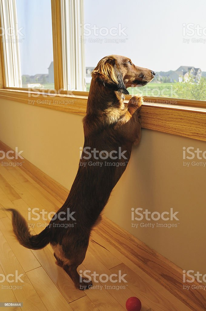 Miniature Dachshund Looking out of a Window stock photo
