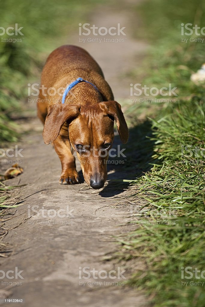 Miniature Dachshund on path sniffing royalty-free stock photo