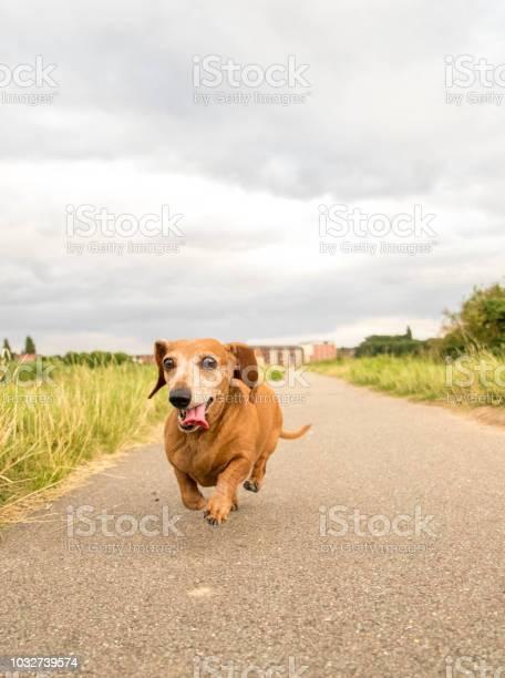 Miniature dachshund picture id1032739574?b=1&k=6&m=1032739574&s=612x612&h=wtybbooiw5xviduhstdsmhlfoalpi9buljwiykfpini=