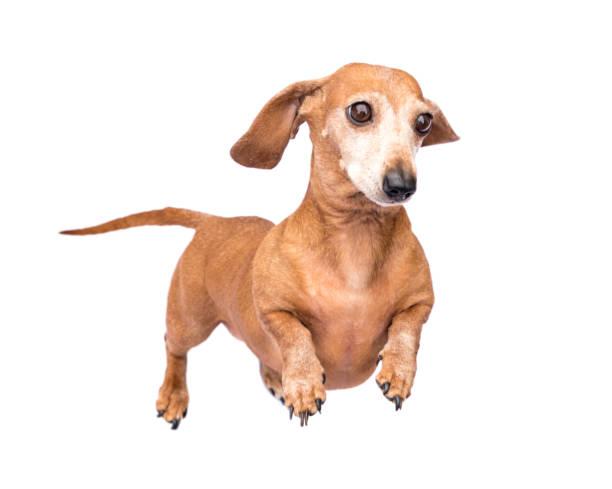 Miniature dachshund picture id1148040554?b=1&k=6&m=1148040554&s=612x612&w=0&h=nqic3vple0nrkmhzr9uvludf8j2hlfeluk9w9 hjfk4=