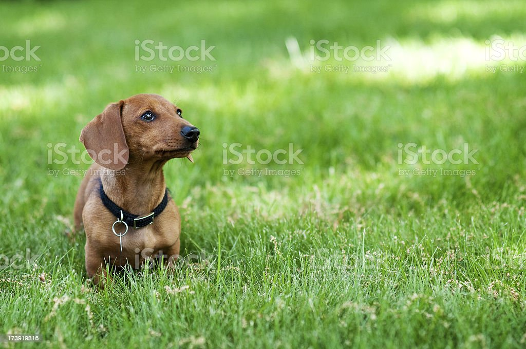 Miniature Dachshund stock photo