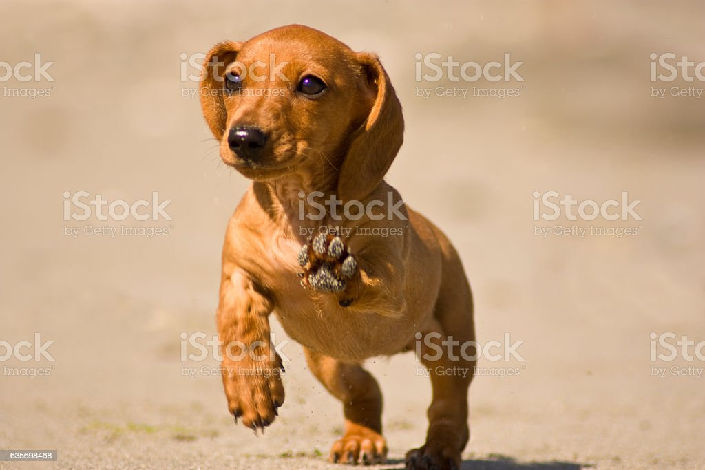 Miniature Dachshund royalty-free stock photo