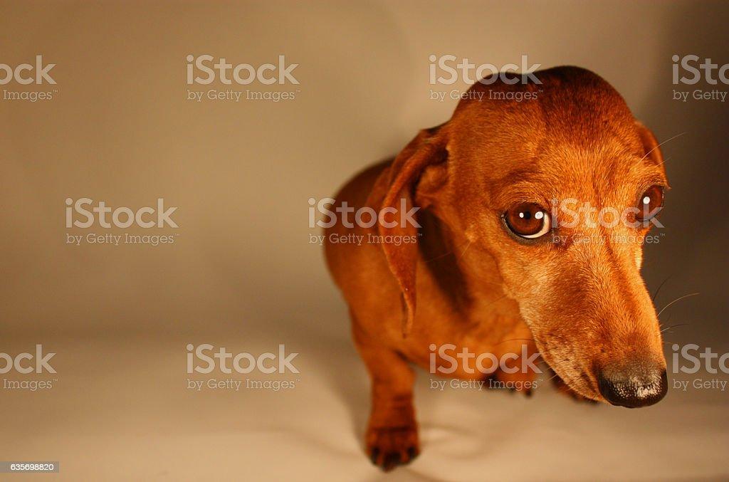 Miniature Dachshund royalty-free stock photo