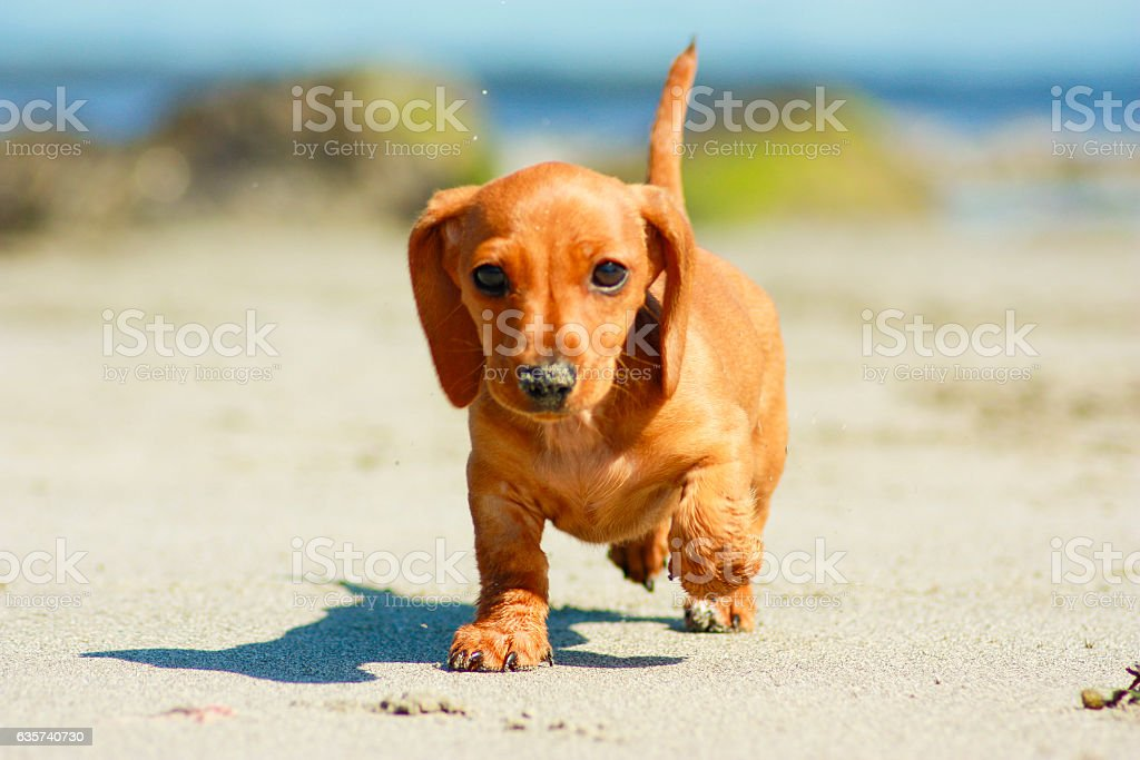 M And S Dachshund Royalty Free Miniature...