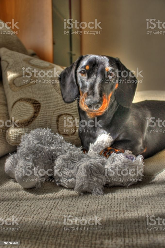 Miniature Dachshund Stock Photo Download Image Now Istock