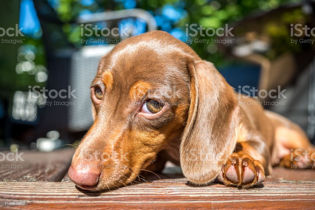 Miniature Dachshund Puppy Dog Eyes Stock Photo Download Image Now Istock