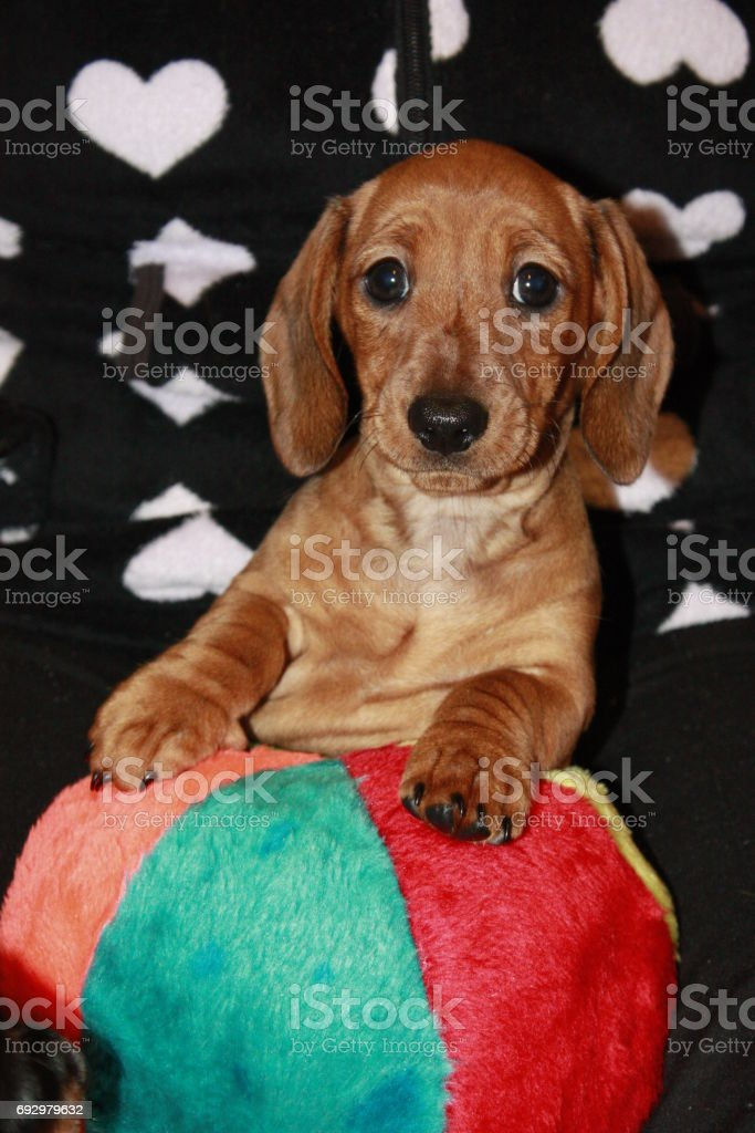 Miniature Dachshund Puppy Stock Photo Download Image Now Istock