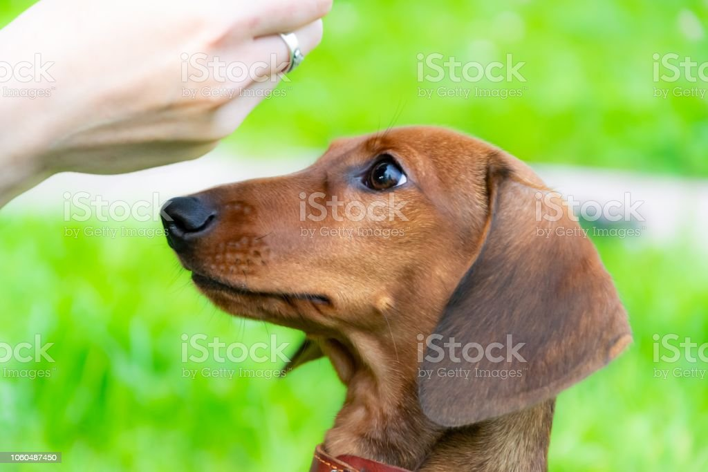 Miniature Dachshund Puppy With Its Owner Stock Photo - Download