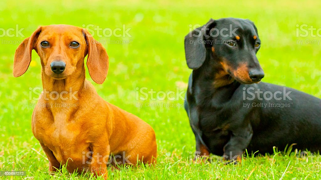 Miniature Dachshunds royalty-free stock photo