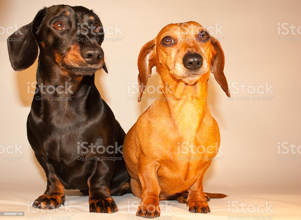 Miniature Dachshunds royalty-free stock photo