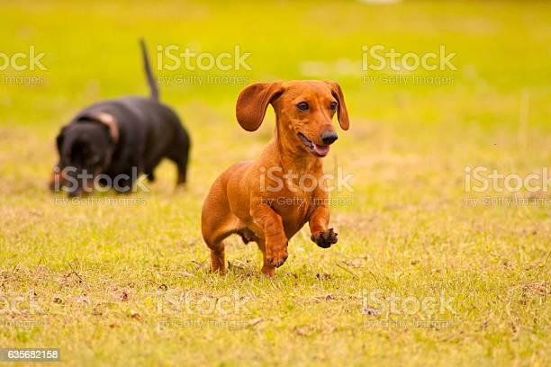 Miniature dachshunds playing picture id635682158?b=1&k=6&m=635682158&s=612x612&h=nid tq 5eldqpdwmukdtiffuitssif3vknnp5mbfmko=