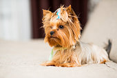 miniature dog breed Yorkshire Terrier with a blue bow in a green collar lies on the couch