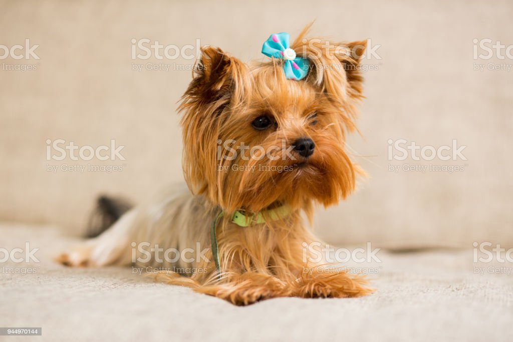 Miniature Dog Breed Yorkshire Terrier With A Blue Bow In A Green