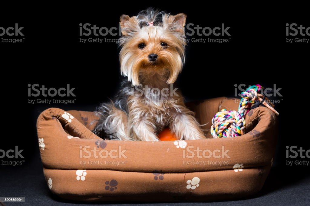 miniature dog breed Yorkshire Terrier with an elastic band on his hair sits in his couch, isolated on black stock photo