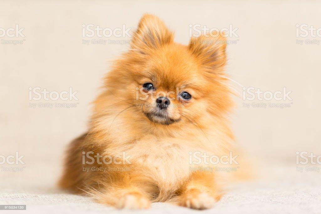 perro miniatura de raza de perro Pomerania se encuentra en el sofá - foto de stock