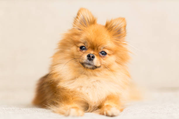 miniature dog of Pomeranian dog breed lies on the couch stock photo