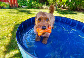 Miniature goldendoodle enjoying a small splash pool on a hot summer day.