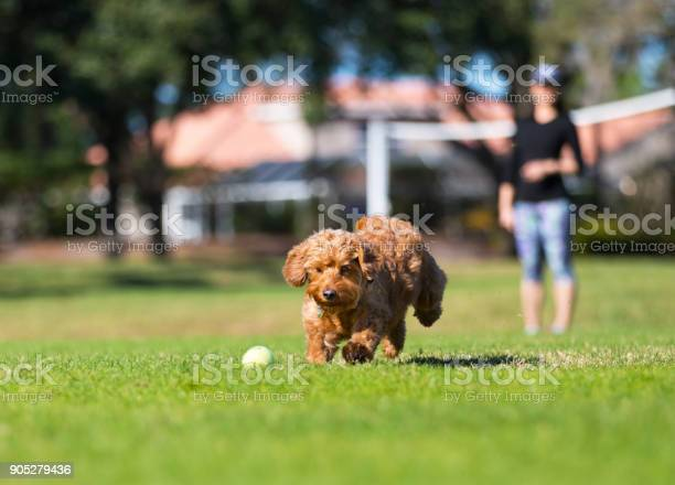 Miniature golden doodle playing fetch picture id905279436?b=1&k=6&m=905279436&s=612x612&h=k62gobbjp3mykgtlacdz4tyhviqg pjkkwe6rrhzixi=