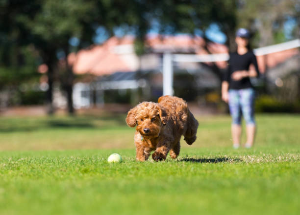 Miniature golden doodle playing fetch picture id905279436?b=1&k=6&m=905279436&s=612x612&w=0&h=6yun1apzze pmtcytjfw66n3jcme6p8mz xh0i6j5jq=