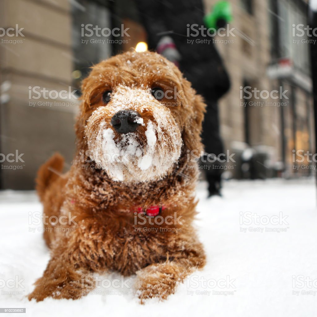 Miniature Golden doodle with snow on her nose stock photo