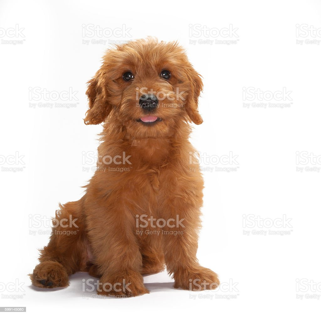 Miniature Goldendoodle Puppy Dog Portrait On White Background Stock Photo Download Image Now Istock