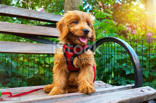 Miniature Goldendoodle puppy sitting on city Park bench.  Puppy is 3 months old.
