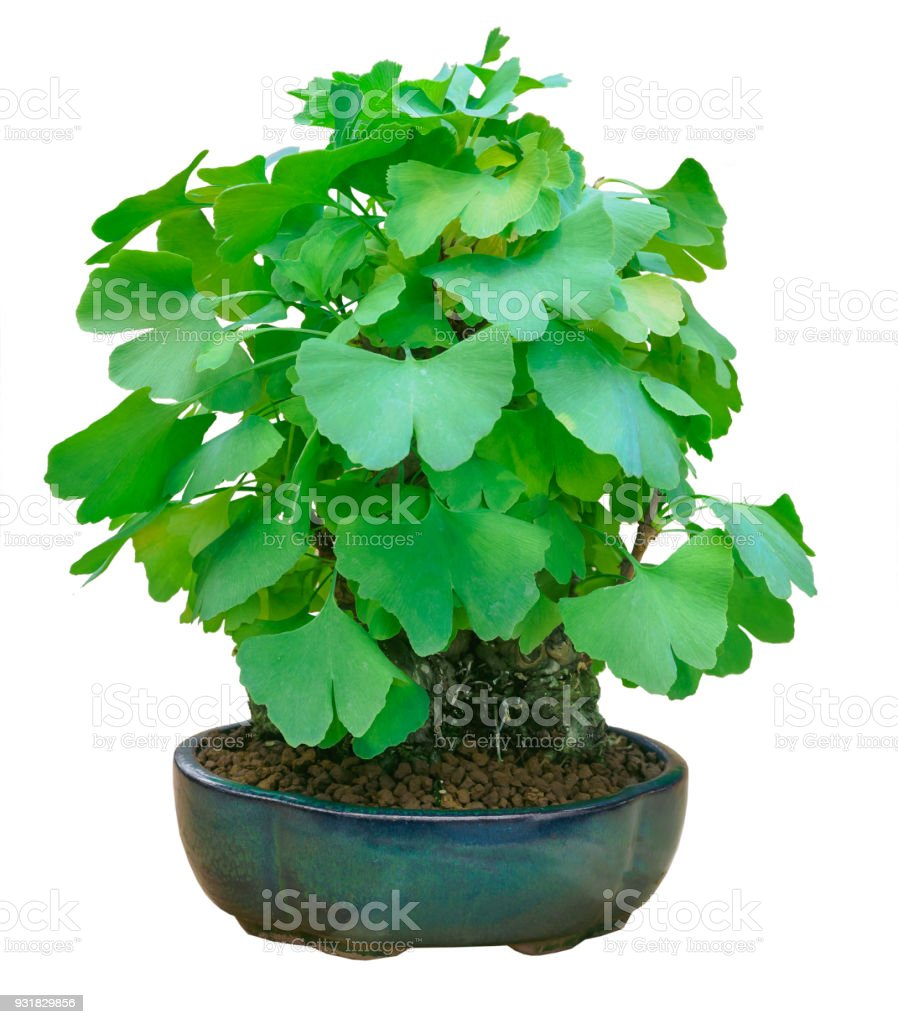 Miniature Green Bonsai Tree Ginkgo Biloba Isolated Stock Photo Download Image Now Istock