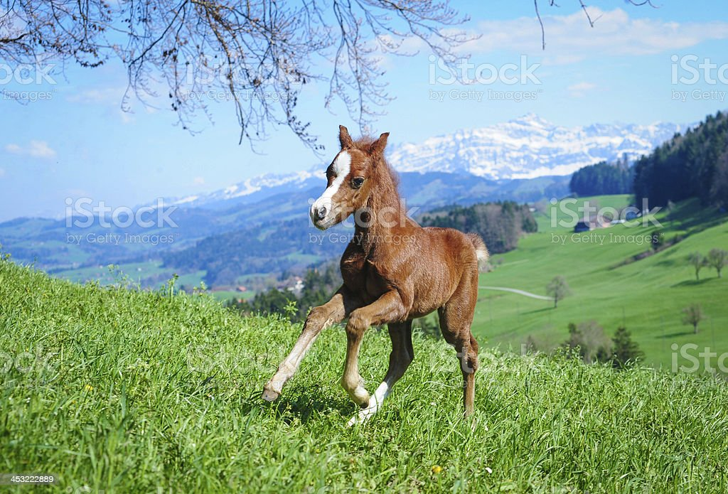 Miniature horse foal stock photo