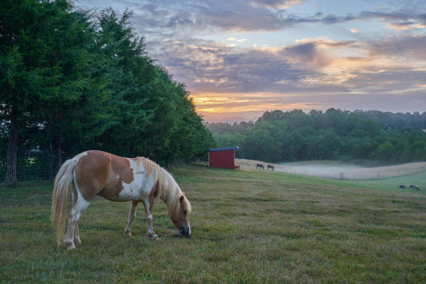 A Miniature Horse Grazing in an Agricultural Field During a Vibrant Sunrise stock photo