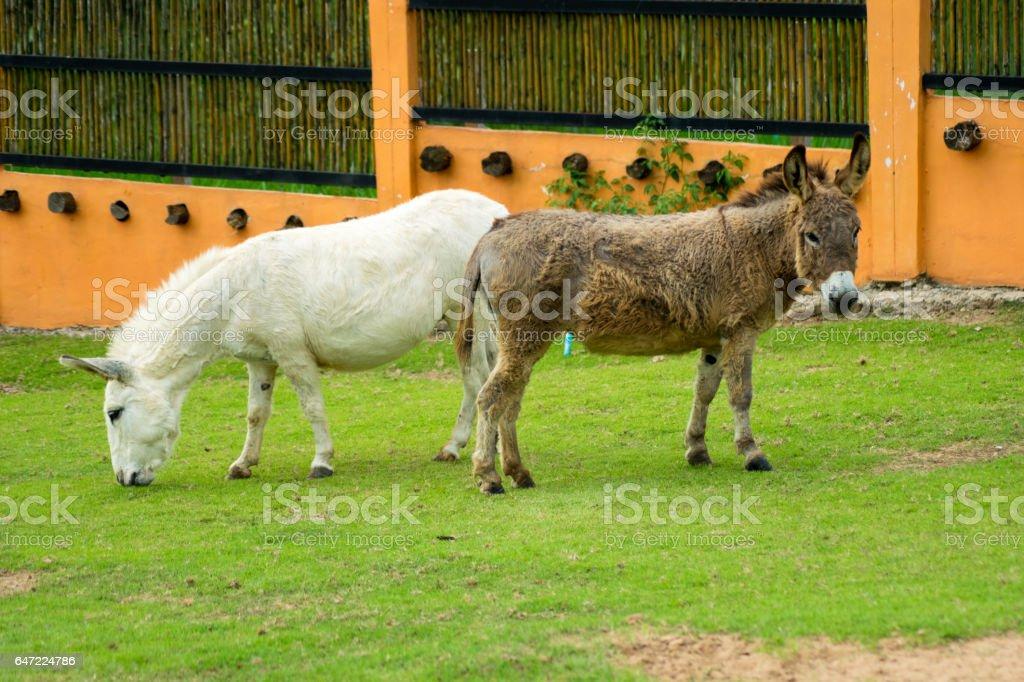 Miniature horse portrait in meadow stock photo