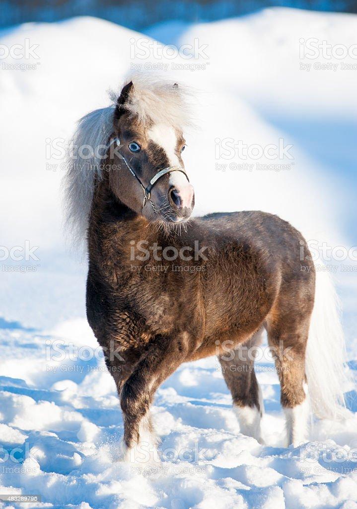 miniature horse posing in winter stock photo