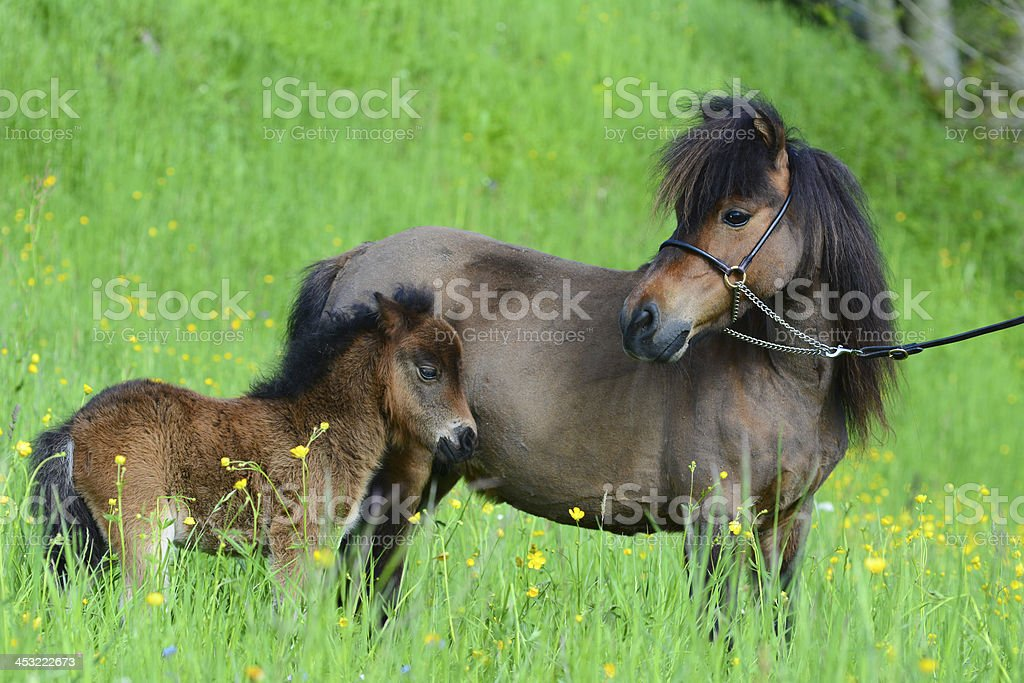Miniature horse with a foal stock photo