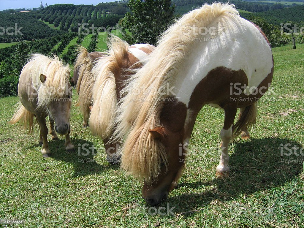 Miniature horses stock photo