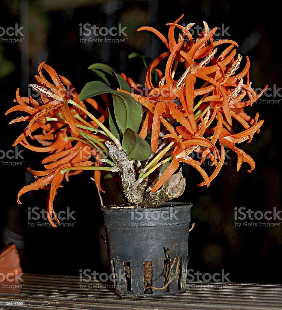 orchid es dendrobium lamyaiae miniature photos et plus d. Black Bedroom Furniture Sets. Home Design Ideas