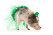 A miniature pig wearing green tutu and mini top hat ready for St. Patty's Day