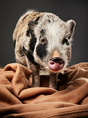A studio portrait of a domesticated micro pig.